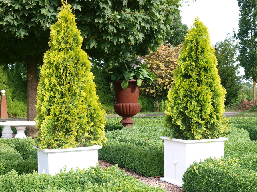 THUJA occidentalis ´Golden Smaragd´® (´Janed Gold´)Ⓢ