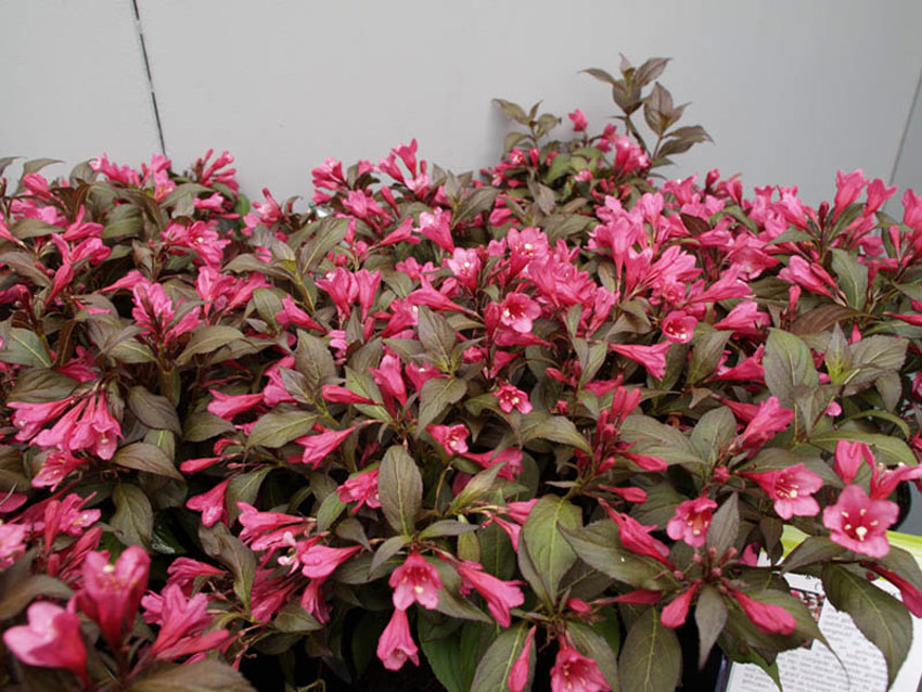 WEIGELA florida ´Minor Black´ (´Verweig3´)Ⓢ