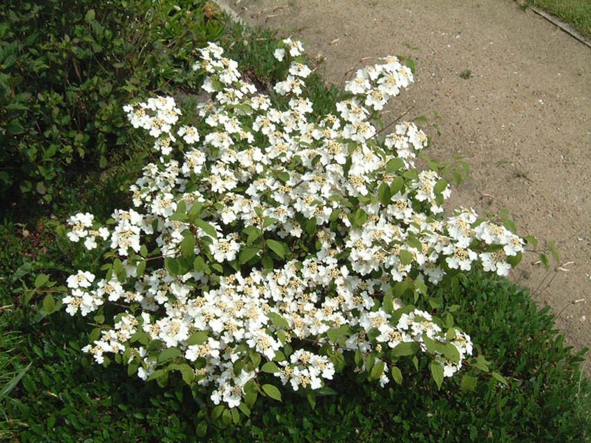VIBURNUM plicatum ´Mariesii´ (= tomentosum ´Mariesii´)