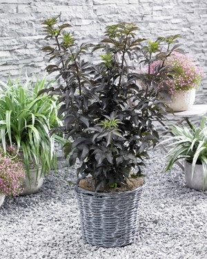 sambucus_black_tower_web55239e0f5ebaa