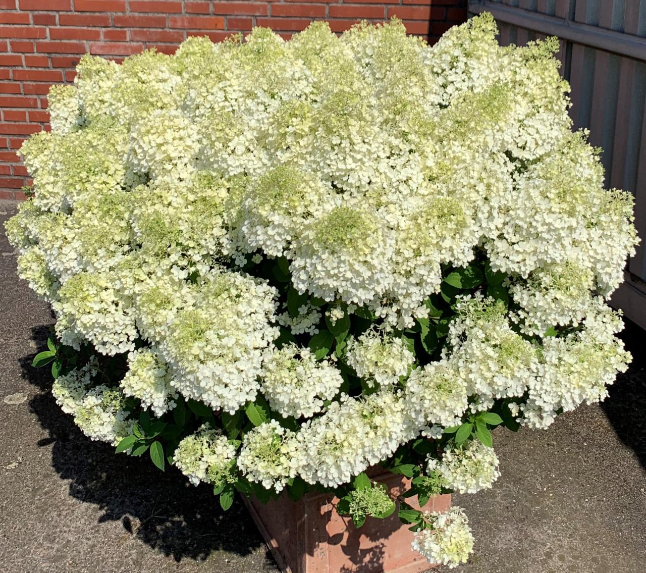 HYDRANGEA paniculata ´Bobo´® (´Ilvobo´)Ⓢ