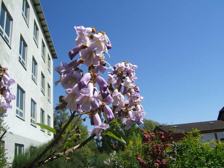 PAULOWNIA tomentosa (= imperialis, tomentosa var. lanata, japonica, recurva, Bignonia tomentosa)