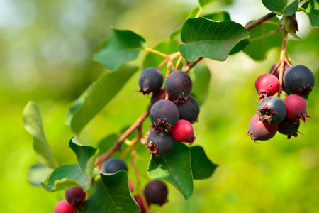 AMELANCHIER alnifolia ´Greatberry® Aroma´ (= alnifolia ´Honeywood´) ('KOJUAAGA')