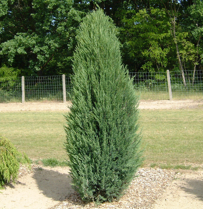 JUNIPERUS scopulorum ´Blue Arrow´ (= virginiana ´Blue Arrow´)