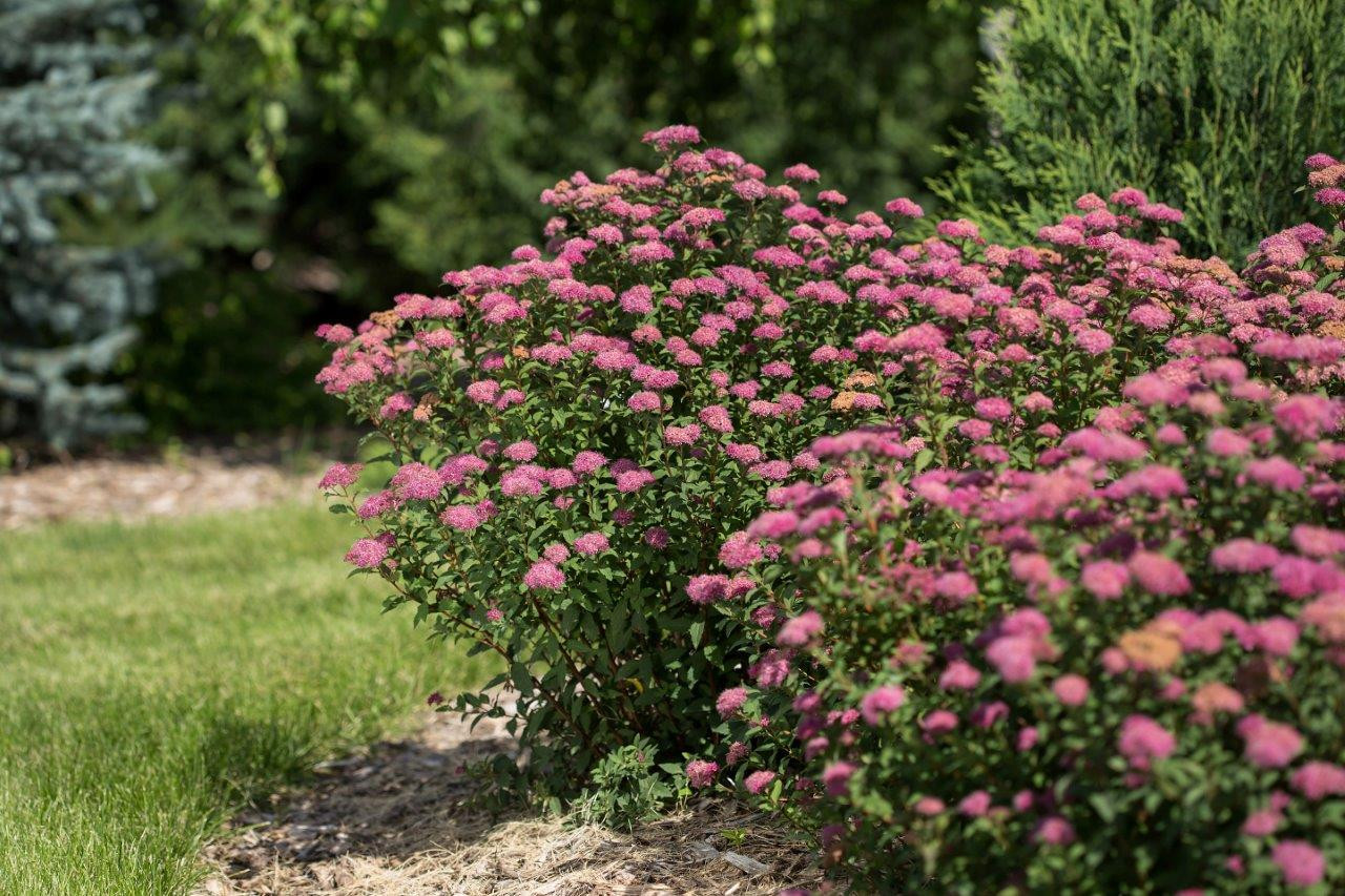 SPIRAEA japonica ´Superstar´ (´Denistar´) FE® (= bumalda ´Superstar´)