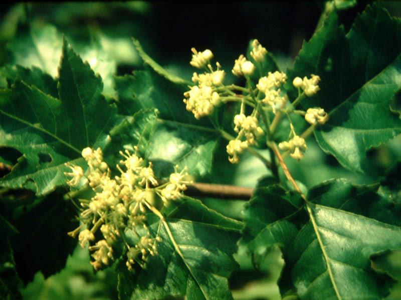ACER ginnala (= tataricum ssp. ginnala)