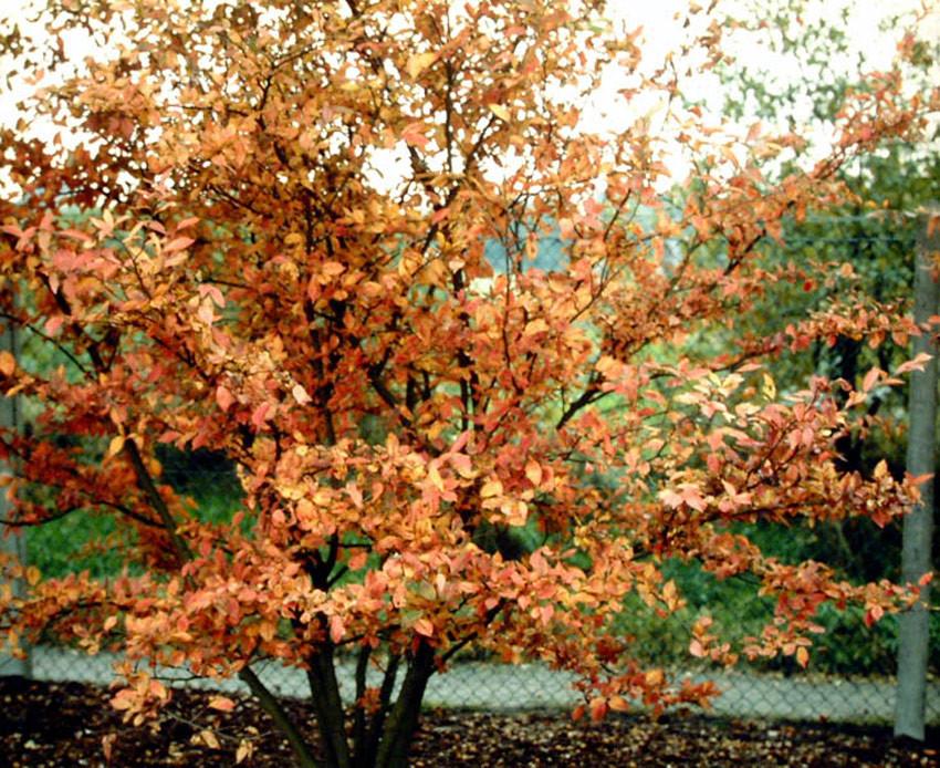 PHOTINIA villosa (= Pourthiaea villosa)