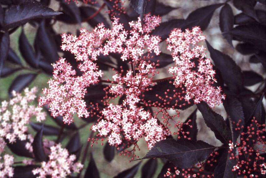 SAMBUCUS nigra ´Black Beauty´® (´Gerda´)Ⓢ