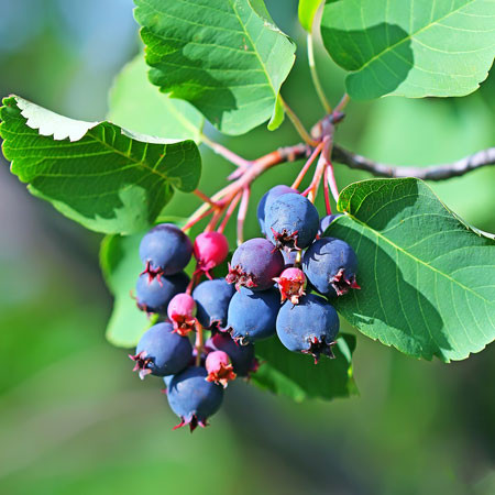 AMELANCHIER alnifolia ´Greatberry® Fruity´ (= alnifolia ´Martin´)