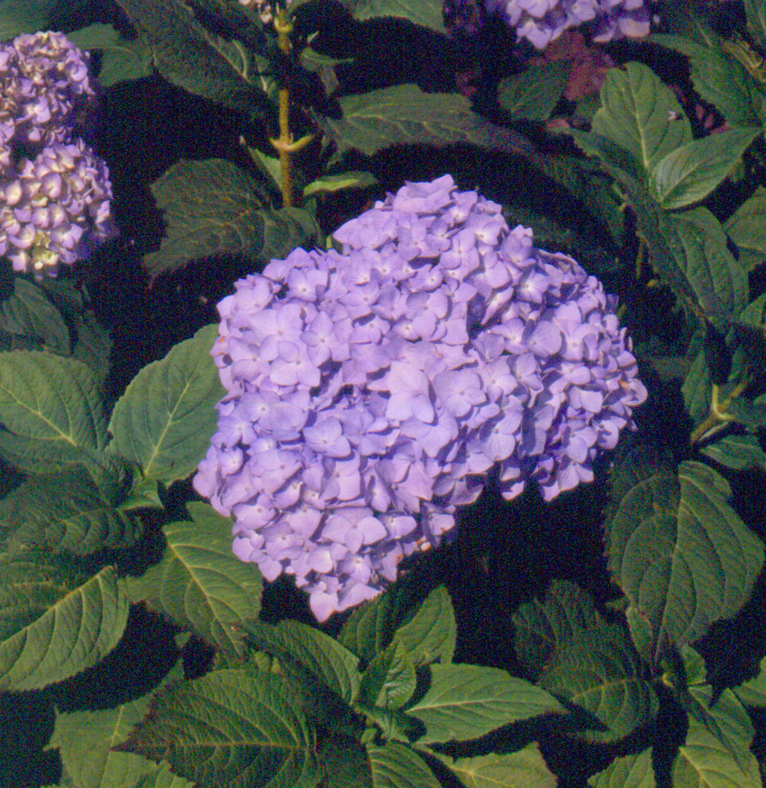 HYDRANGEA macrophylla ´Bouquet Rose´ (= ´Bouquet Blue´)