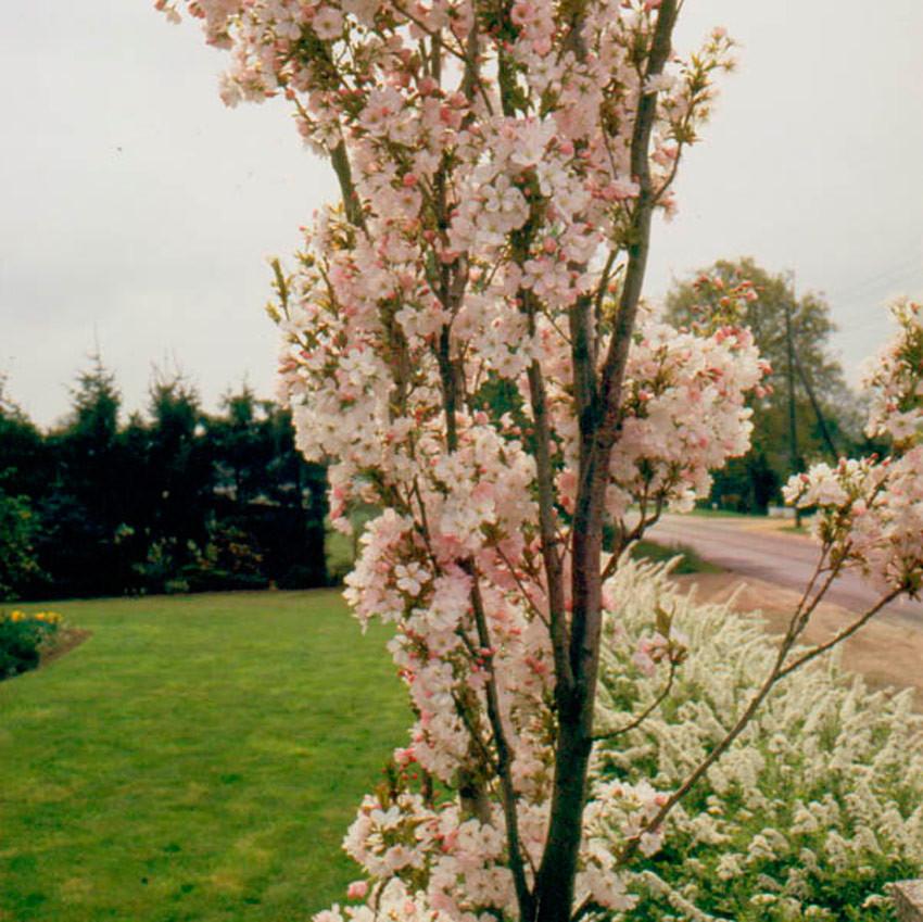 PRUNUS serrulata ´Amanogawa´ (= f. erecta)
