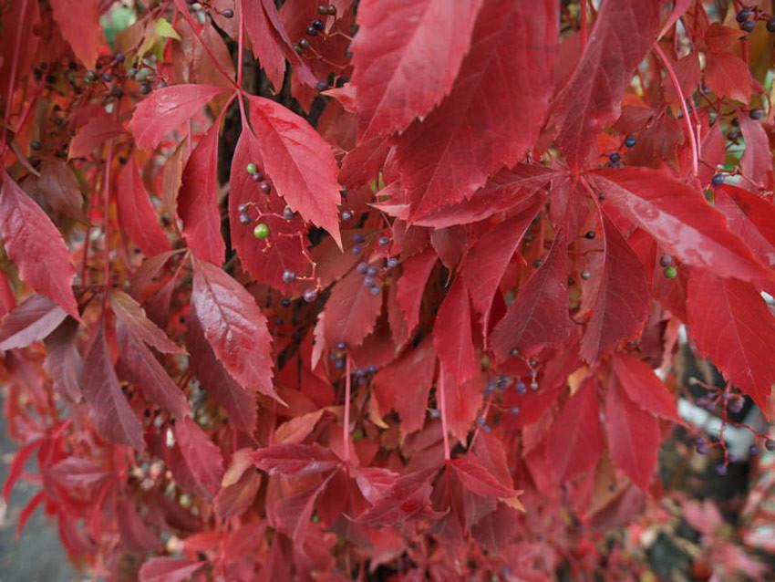 PARTHENOCISSUS quinquefolia (= Ampelopsis quinquefolia)