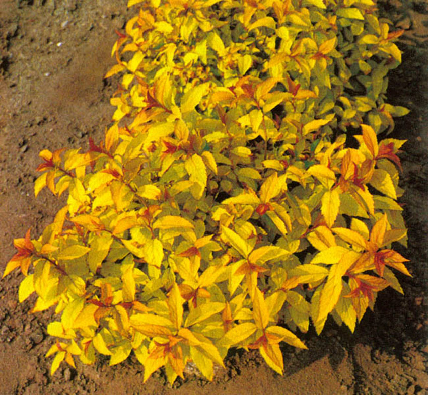 SPIRAEA japonica ´Goldflame´ (= bumalda ´Goldflame´)