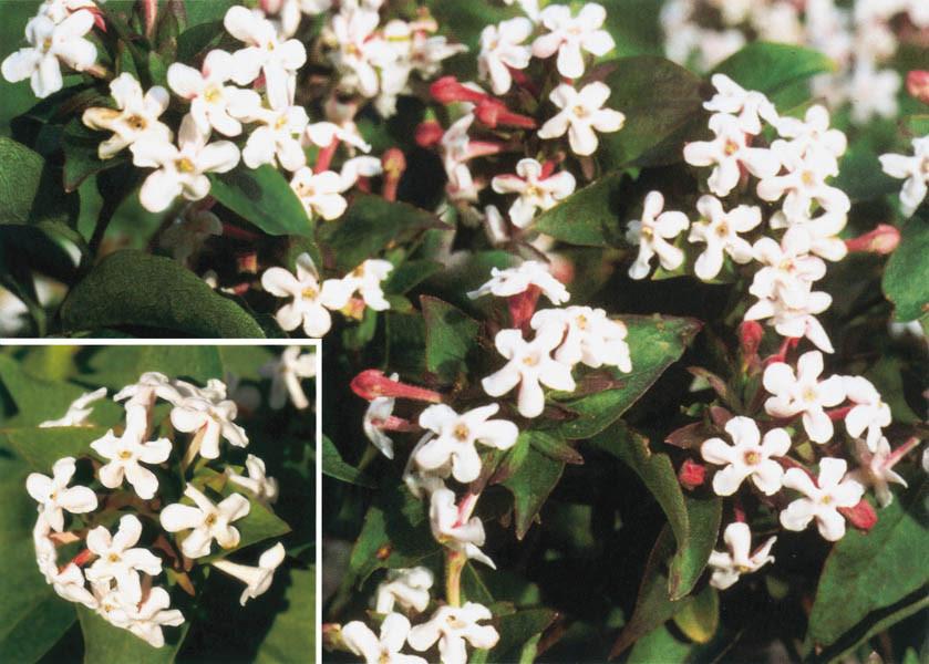 ABELIA mosanensis (= Zabelia mosanensis)
