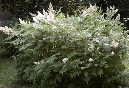 SORBARIA sorbifolia (= Spiraea sorbifolia, Spiraea tobolskiana)