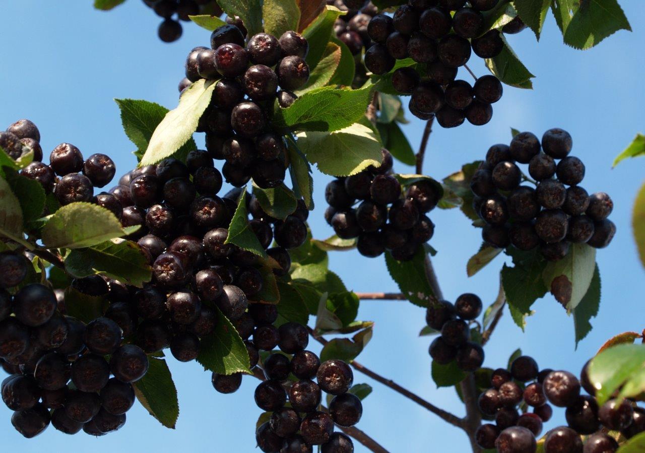 ARONIA prunifolia ´Aron´ (= melanocarpa ´Aron´)
