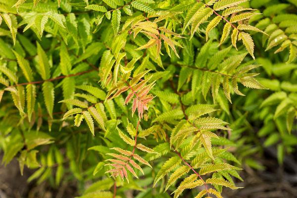 SORBARIA sorbifolia ´Matcha Ball´ (´Levgreen´)Ⓢ FE®