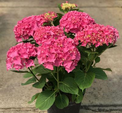 HYDRANGEA macrophylla ´Rubis Seduction´® (´YYY ADONE´)Ⓢ