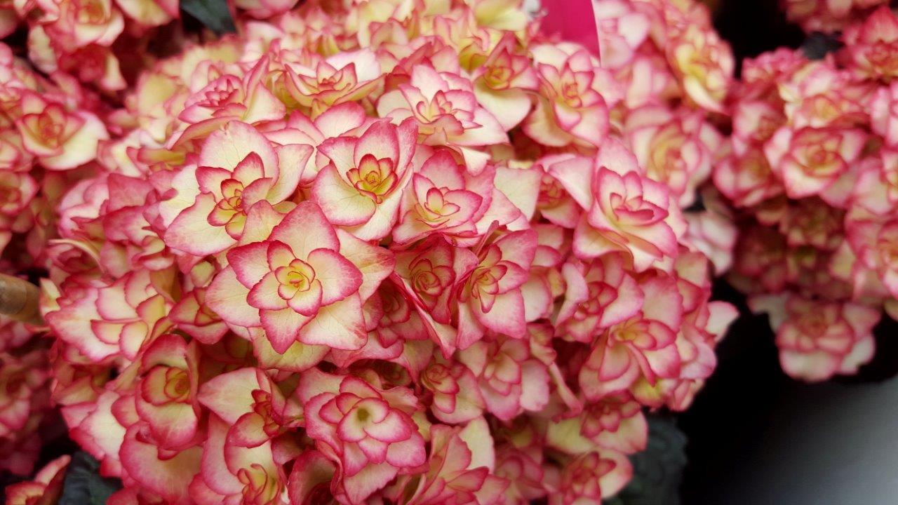 HYDRANGEA macrophylla ´Miss Saori´® (´H2002´)Ⓢ