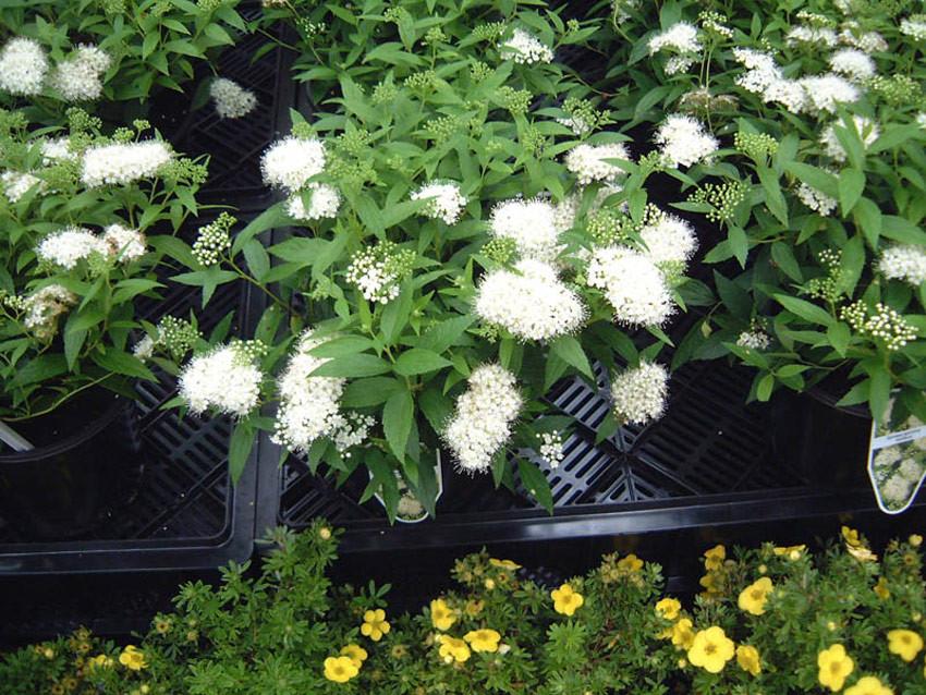 SPIRAEA japonica ´Albiflora´ (= S. albiflora, callosa alba)