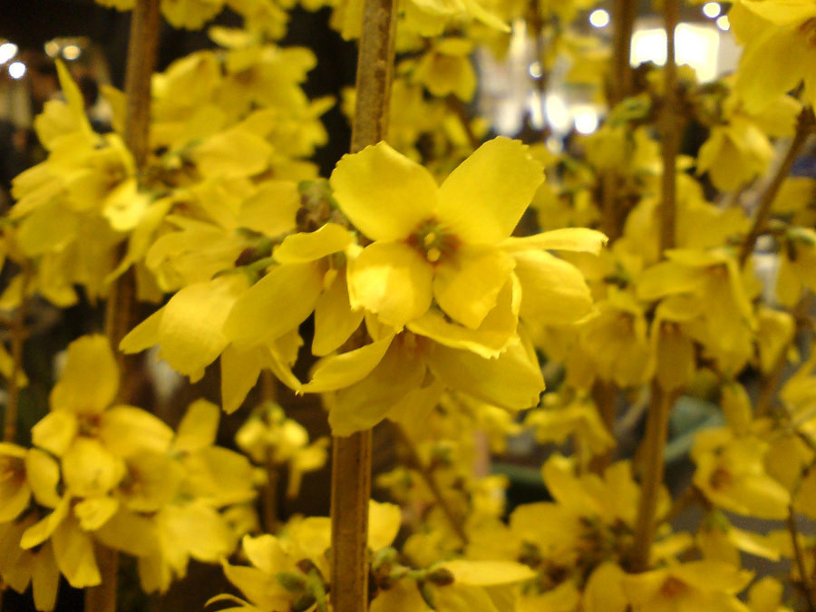 FORSYTHIA intermedia ´Goldrausch´