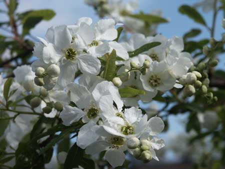 EXOCHORDA macrantha ´The Bride´