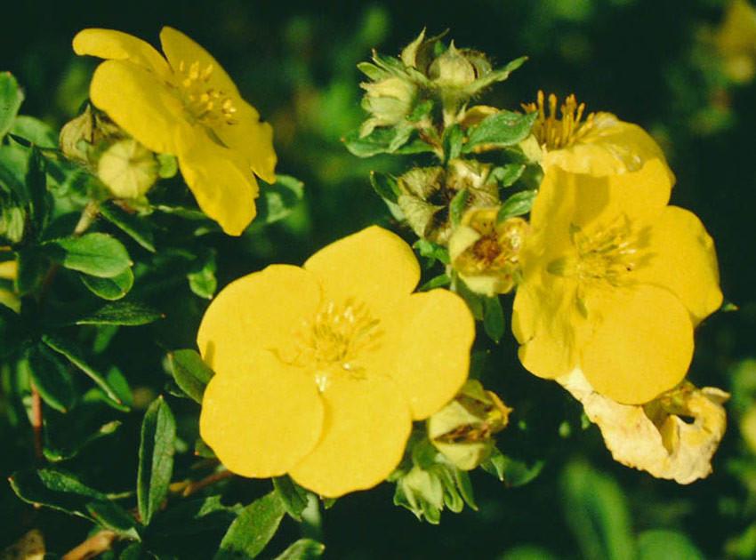 POTENTILLA fruticosa ´Goldstar´ (= ´Goldstern´)