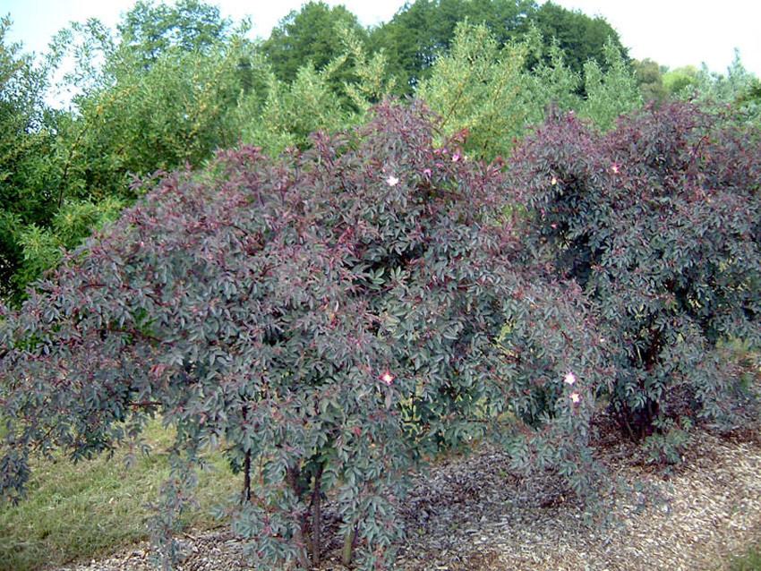 ROSA glauca (= rubrifolia)