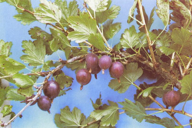 RIBES uva-crispa ´Hinnonmäki rot´ (=´Lepaan punainen´)
