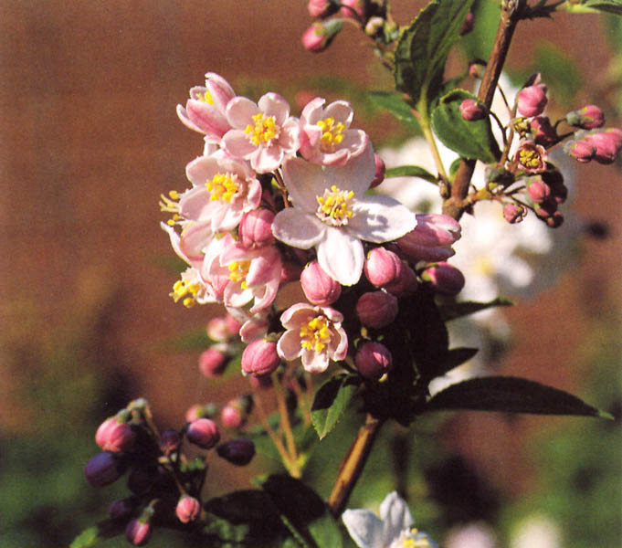 DEUTZIA hybrida ´Mont Rose´