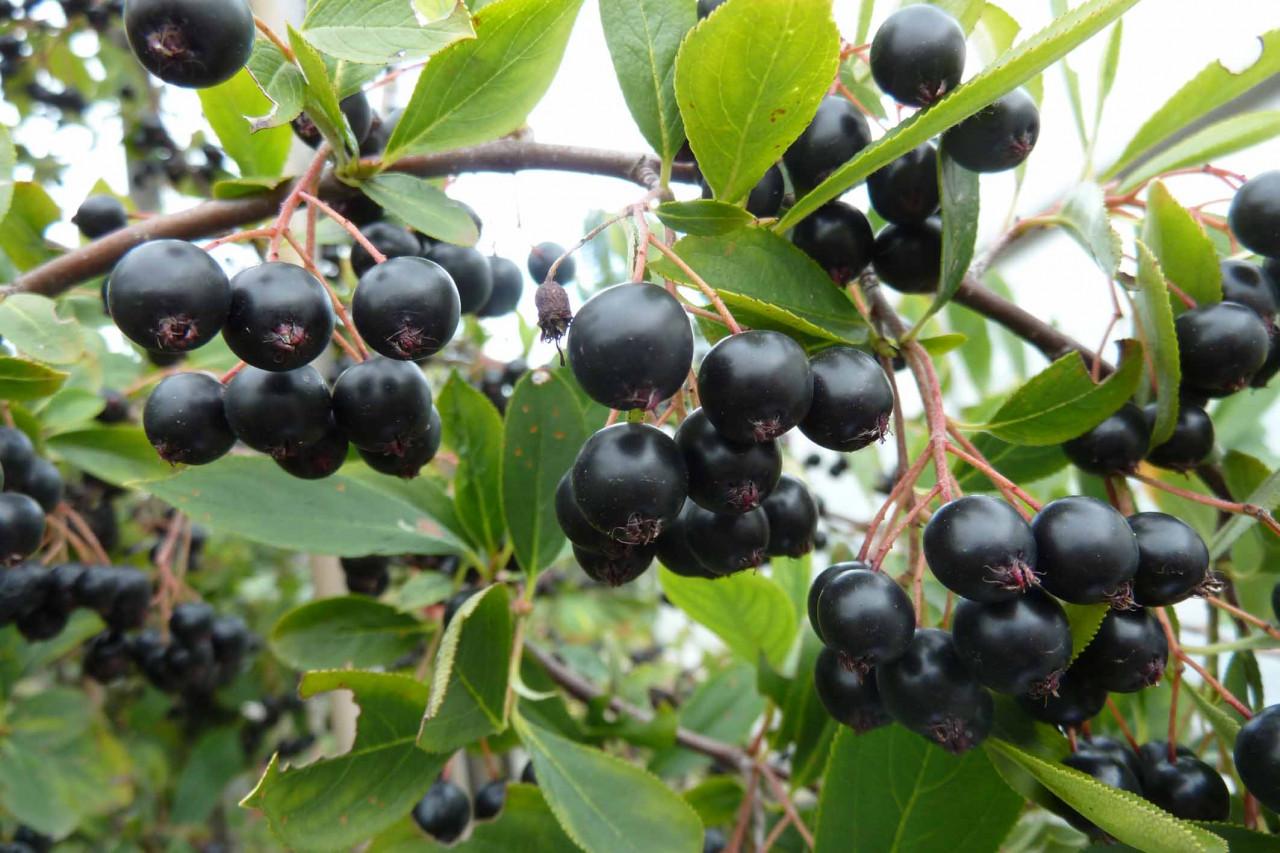ARONIA melanocarpa ´Hugin´ (= prunifolia ´Hugin´)