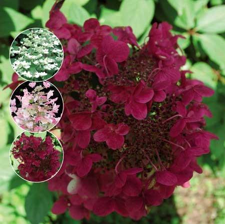 HYDRANGEA paniculata ´Wims Red´Ⓢ