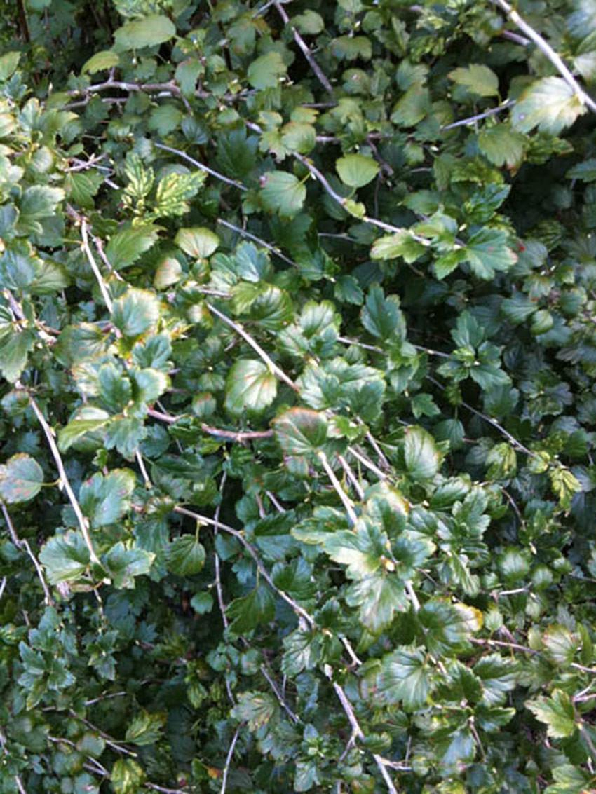 RIBES alpinum ´Schmidt´