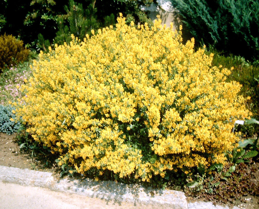 GENISTA tinctoria ´Royal Gold´