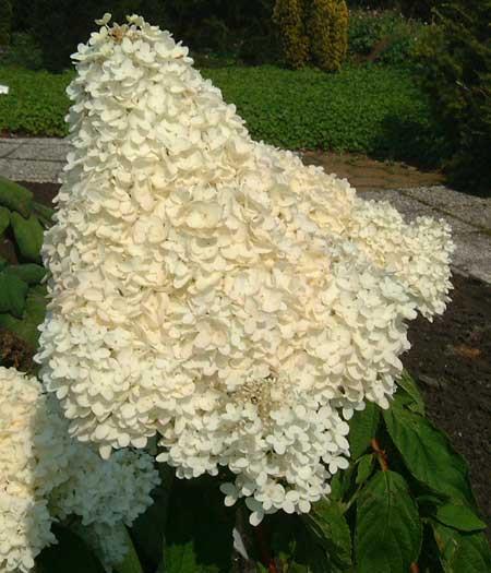 HYDRANGEA paniculata ´Grandiflora´