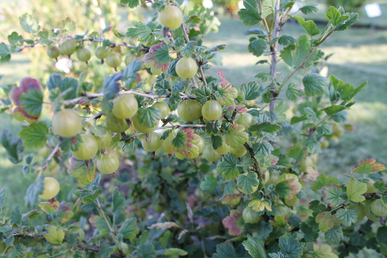 RIBES uva-crispa ´Hinnonmäki grün´
