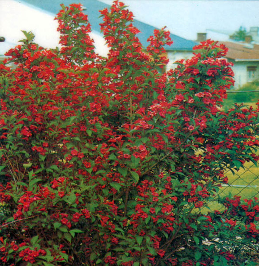 WEIGELA ´Red Prince´
