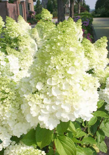 HYDRANGEA paniculata ´Magical® Moonlight´ (´Kolmagimo´)Ⓢ