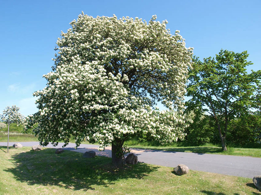 SORBUS intermedia (= scandica)