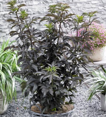 SAMBUCUS nigra ´Black Tower´ (´Eiffel 1´)Ⓢ