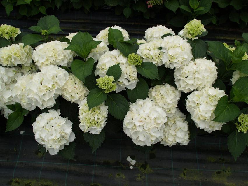 HYDRANGEA macrophylla ´Schneeball´®