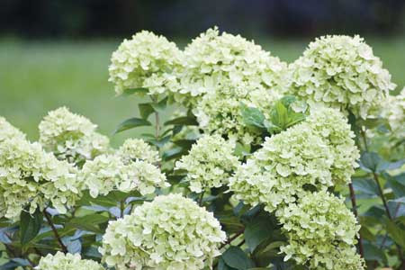 HYDRANGEA paniculata ´Little Lime´® (´Jane´)Ⓢ