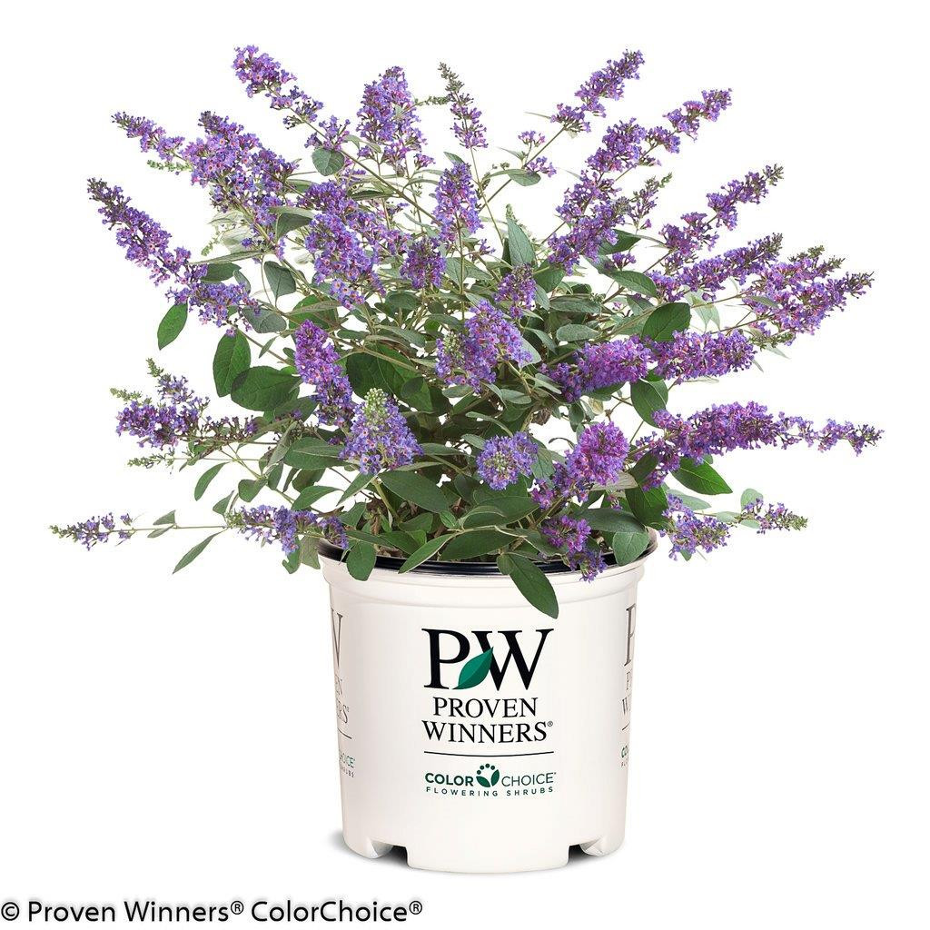 BUDDLEJA ´Blue Chip Jr´Ⓢ PW®