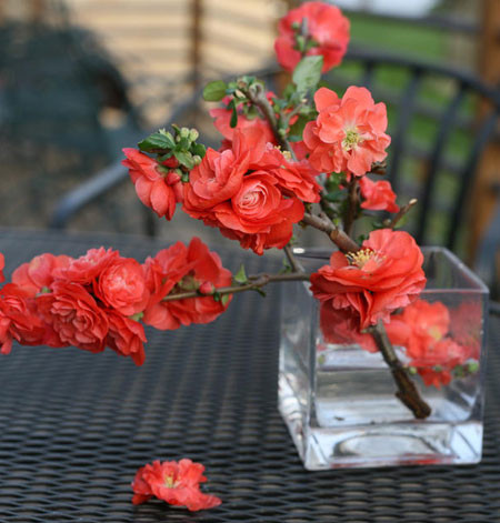 CHAENOMELES speciosa ´Orange Storm´Ⓢ PW®