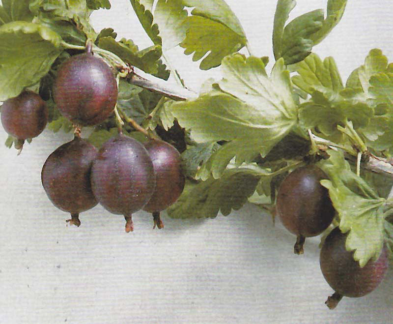 RIBES uva-crispa ´Redeva´Ⓢ (=´Rote Eva´)