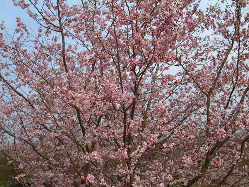 PRUNUS ´Accolade´