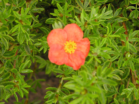 POTENTILLA fruticosa ´Marian Red Robin´