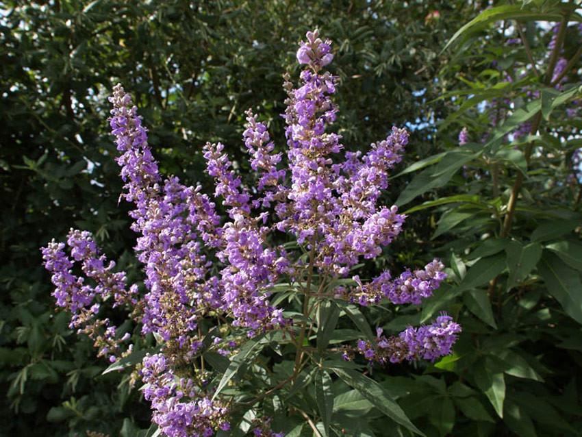 VITEX agnus-castus latifolia (= angus-castus macrophylla)