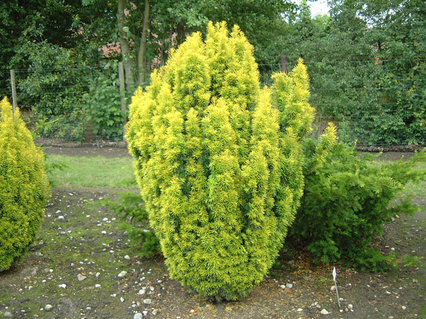 TAXUS baccata ´Germers Gold´