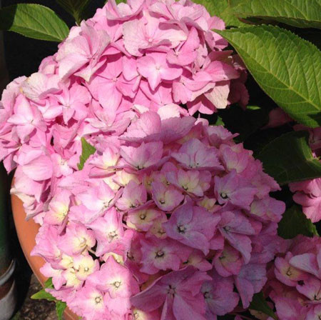 HYDRANGEA macrophylla ´Lady Seduction´® (´HUAKAIFUGUI´)ⓢ